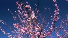 Close-up - Low angle view of blooming peach tree at a blue sky Stock Footage