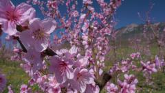 Close-up - Peach tree blossoms Stock Footage