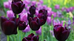 Beautiful purple tulips. Stock Footage
