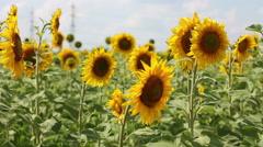 Medium shot of sunflower field Stock Footage