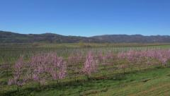 Aerial - Peach trees in springtime Stock Footage