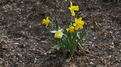 Close of daffodils & tilt to Pennsylvania State Capitol Stock Footage
