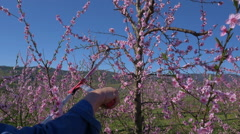 Close-up - Man grafting peach tree at flowering time Stock Footage