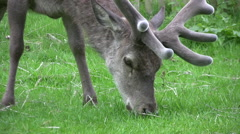 Close up of a deer with furry antlers - stock footage