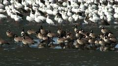 Snow geese & canada geese at edge of Nebraska lake Stock Footage