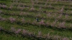 Aerial - Man grafting peach trees at flowering time Stock Footage