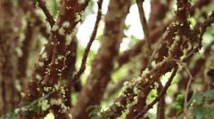 Jabuticaba blossom1 Stock Footage