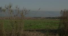 Hula valley cranes pan 4K 24P Stock Footage