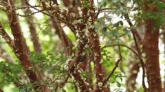 Jabuticaba blossom4 Stock Footage