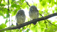 Owls on a tree. slow motion. Stock Footage