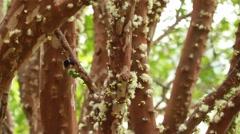 Jabuticaba blossom6 Stock Footage