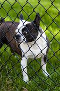 Dog Behind Chain-Linked Fence - stock photo