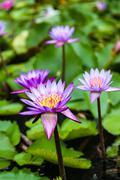 Lotus Flowers Nelumbo Nucifera Stock Photos