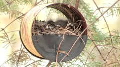Male House Finch comes to its Nest to Feed Baby Birds Stock Footage