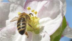 Bee collects pollen and nectar from spring blossom fruit Stock Footage