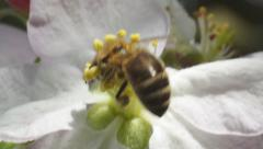 Bee lands on the flower fruit. Stock Footage