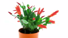 Red Easter Cactus Flowers Opening and Closing Timelapse Stock Footage