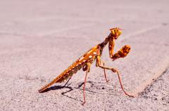 Insect Mantis Religiosa - stock photo