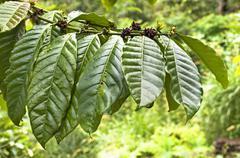 Fresh tobacco leaves Stock Photos