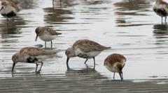 Shorebirds, Birds, Spring Migration Stock Footage