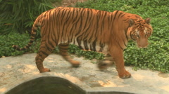 Tiger in the park Stock Footage