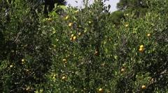 Tangerines tree - stock footage
