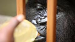 Gorilla Drinking from Bottle Slurping Stock Footage