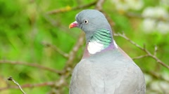 Grey Pigeon Sitting On The Branch Stock Footage