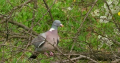 Grey Pigeon Sitting On The Branch 4k Stock Footage