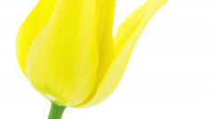 Yellow pointy tulip flower blooming timelapse Stock Footage