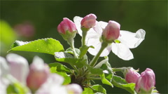Flowering apple branch in spring Stock Footage