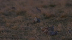 Two Sharp-tailed Grouse Fighting Stock Footage