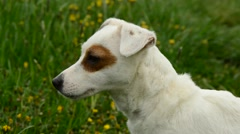 Jack russell terier Stock Footage