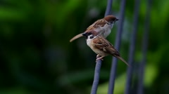 Two sparrows are resting Stock Footage