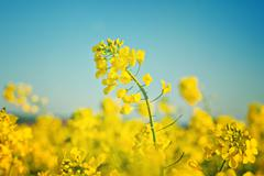 Oilseed Rapeseed Flowers in Cultivated Agricultural Field - stock photo
