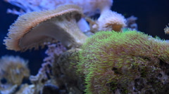 Sea anemone coral in aquarium Stock Footage