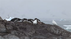 Gentoo Penguins Nesting in Paradise Harbour, Antarctica Stock Footage