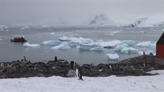 Gentoo penguins nesting near by chilean base in Paradise harbour, Antarctica Stock Footage