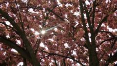 Flowering cherry in spring on a sunny day. Stock Footage