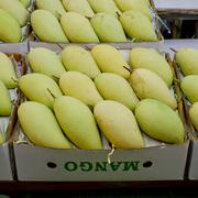 Thai mangoes in market. Premium size mangoes - stock photo