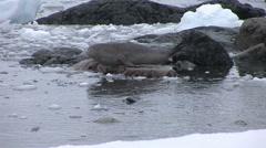 Southern Fur Seal on the rocks in Paradise Harbour, Antarctica Stock Footage
