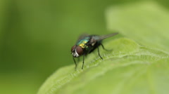 Green bottle fly Stock Footage
