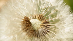 A dandelion seeds close up - stock footage