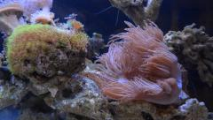 Anemone in home aquarium - stock footage