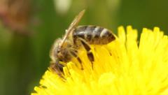 The Bee an The Dandelion - stock footage