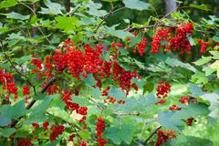 Red currant berries ripening on bush Stock Photos