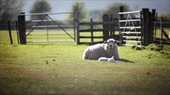 English rural farm scene, lamb and ewe Stock Footage