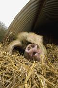 A large pig lying down under a pig ark shelter, in deep straw bedding. Stock Photos