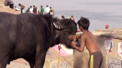 Varanasi, india, child and water buffalo Stock Footage