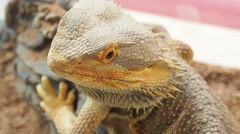 Close up a Bearded Dragon head. Stock Footage